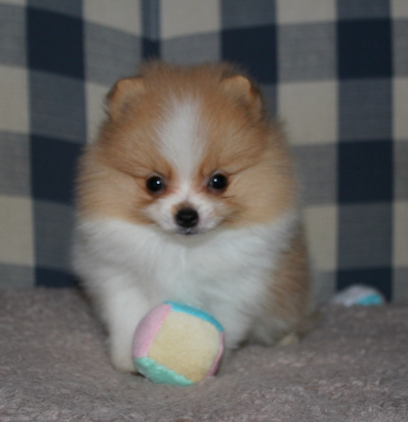 cost how much does a baby bear with Baby Doll Pomeranian on 4767 likewise Cute Puppies Wallpaper additionally Banana Healthy Nutrition Facts furthermore Watch additionally 40 Adorable Red Panda Pictures 40 Pics.