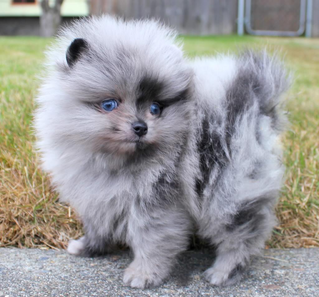 Parkers precious pomeranians pom puppy uglies nvjuhfo Image collections