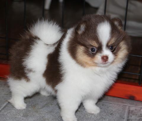 Adults for Sale  Dee Dees Pomeranians