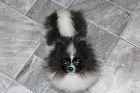 Parkers Precious Pomeranians Pom Puppy Uglies