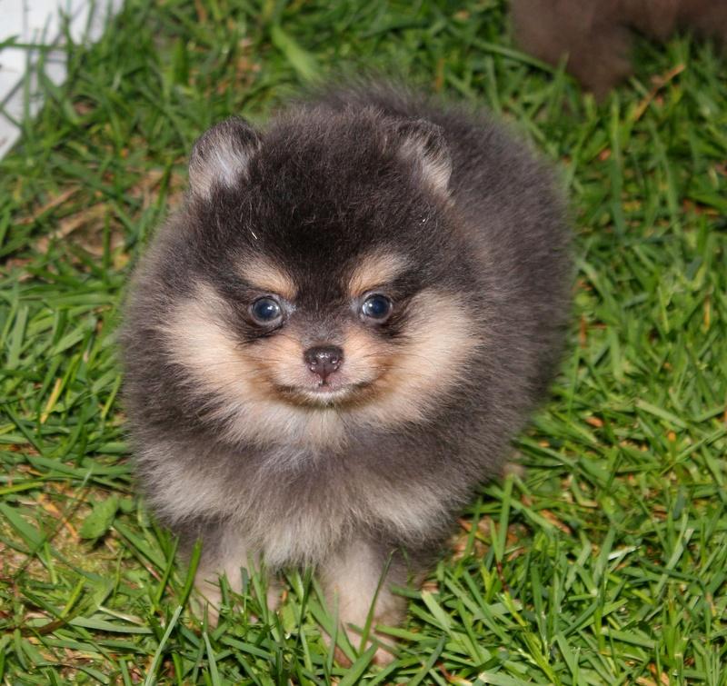 Parker's Precious Pomeranians - Pom Puppy UGLIES